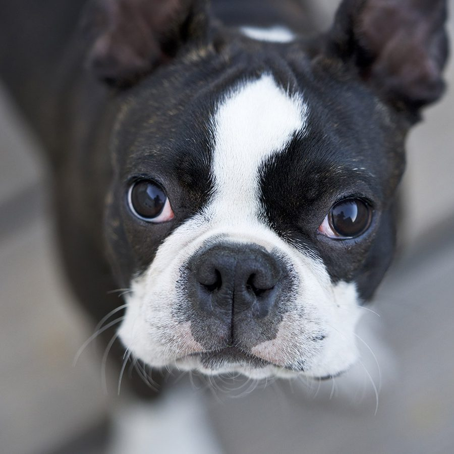 igorthegoodboy-on-ig-boston-terrier-G_7WU5AFBvQ-unsplash